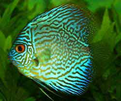 Discus A Guide On Breeding And Caring For These Magnificent Fish