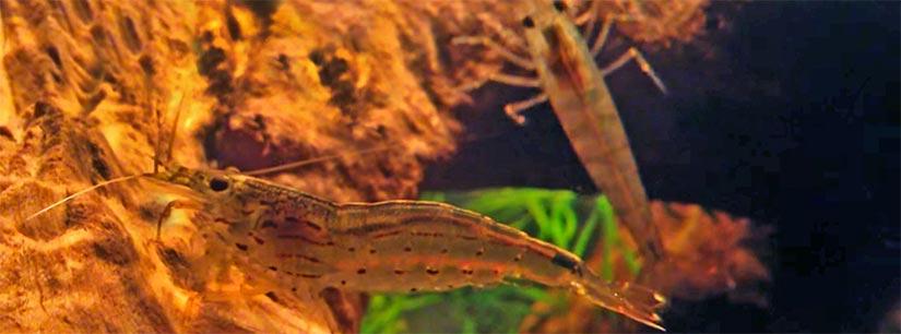 Amano Shrimp | Care, Diet & Breeding - AquariumInfo org
