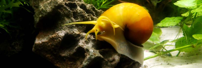 apple snail cleaning