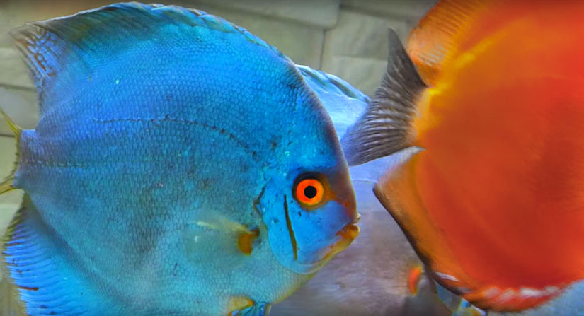 blue diamond breeding discus