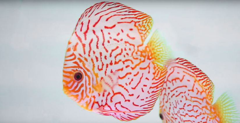 red and white checkerboard discus