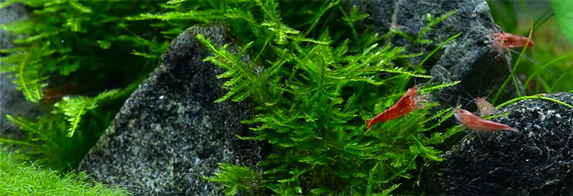 Red Cherry Shrimp, a guide to breeding and keeping