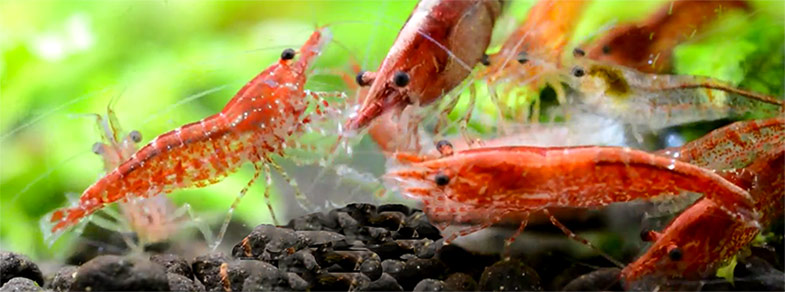 how to fish a rubber shrimp