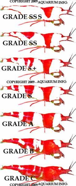 grading guide to crystal red shrimp crs