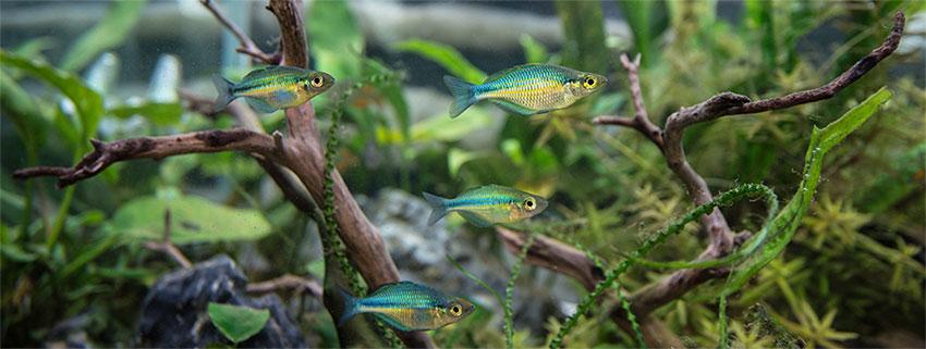 rainbowfish in a natural aquascape
