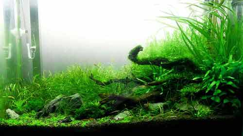 crystal red shrimp aquarium plants